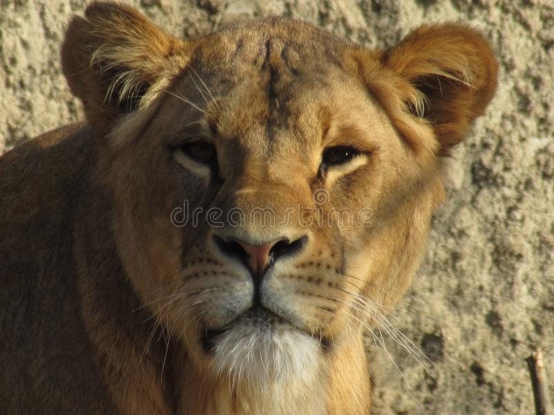 Lejon på zoo arkivbilder