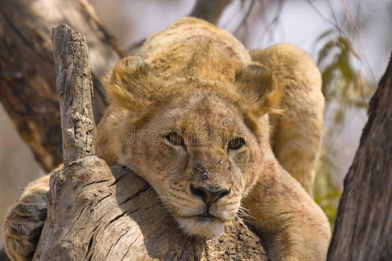 Lejon (Panthera leo) i trädet, Kruger Nati arkivbild