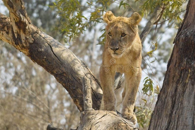 Lejon (Panthera leo), Kruger nationalpark. royaltyfri foto