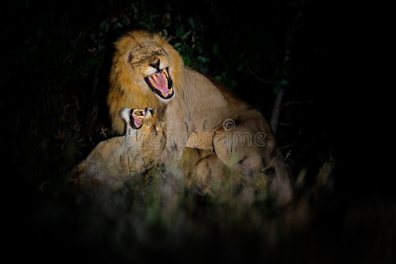 Lejon Pantheraleo bleyenberghi som parar ihop handlingplats i den Kruger nationalparken, Afrika Djurt uppförande i naturlivsmiljö fotografering för bildbyråer