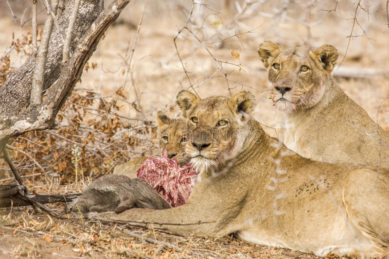 Lejon som äter ett rov, i Kruger, parkerar, Sydafrika royaltyfria foton