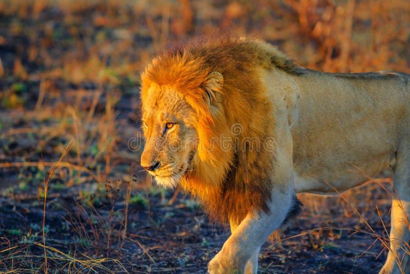 Lejon som går Kruger royaltyfri fotografi