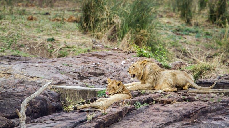 Lejon som har en ta sig en tupplur i den Kruger nationalparken, Sydafrika royaltyfri fotografi