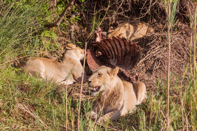 Lejon som har lunch fotografering för bildbyråer