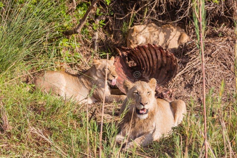 Lejon som har lunch arkivbild