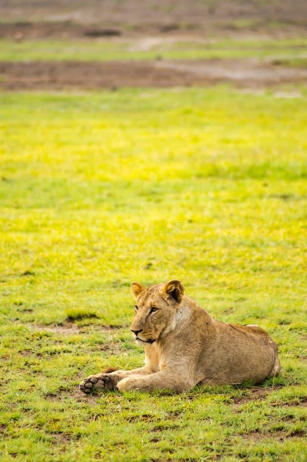 Lejon som ligger i den snattra munsneda bollen för gräs som är öppen i savannahen royaltyfri bild