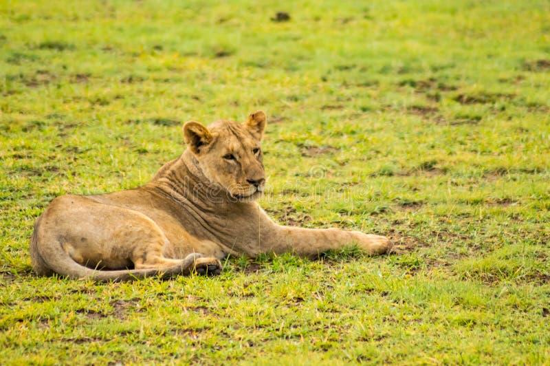 Lejon som ligger i den snattra munsneda bollen för gräs som är öppen i savannahen arkivfoto