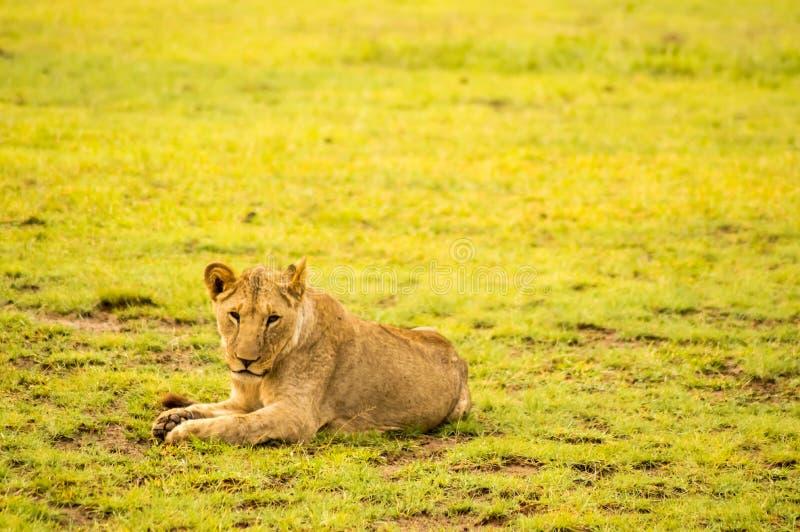 Lejon som ligger i den snattra munsneda bollen för gräs som är öppen i savannahen arkivbilder