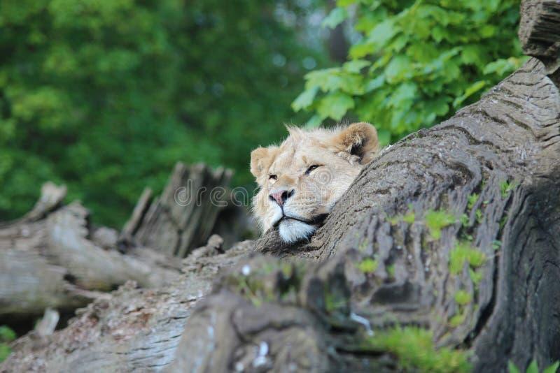Lejon som resing med huvudet i en journal fotografering för bildbyråer