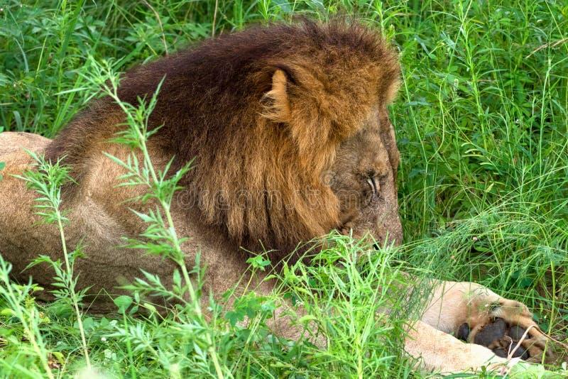 Lejon som sover i det höga gräset, Kruger nationalpark, Sydafrika royaltyfri bild