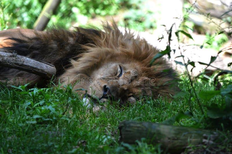 Lejon som sover på den Dartmoor zoo arkivbilder
