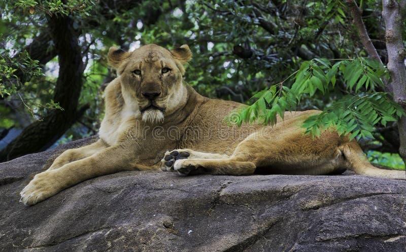 Lejon som stirrar på en bergstopp royaltyfri fotografi