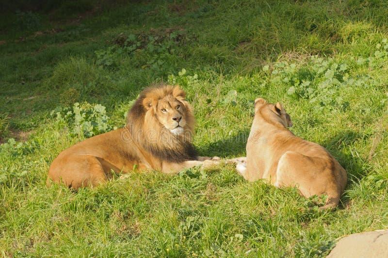 Lejon som vilar efter ett mål arkivfoto
