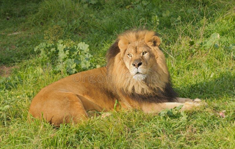 Lejon som vilar efter ett mål arkivfoton