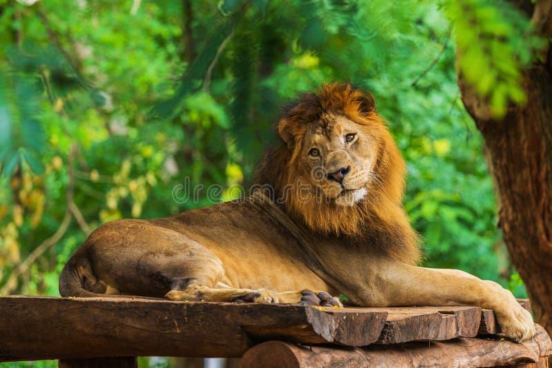 Lejon som vilar nära ett träd royaltyfri bild