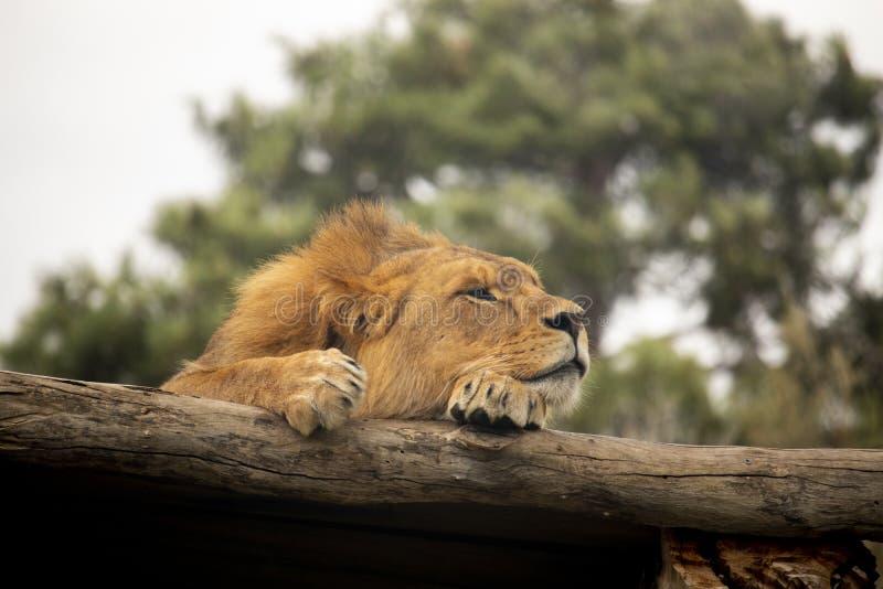 Lejon som vilar på en journal arkivbild