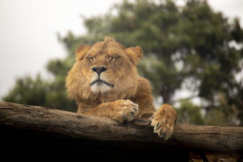Lejon som vilar på en journal royaltyfria foton
