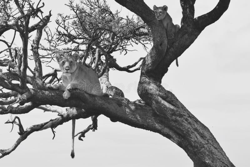 Lejon up ett träd fotografering för bildbyråer