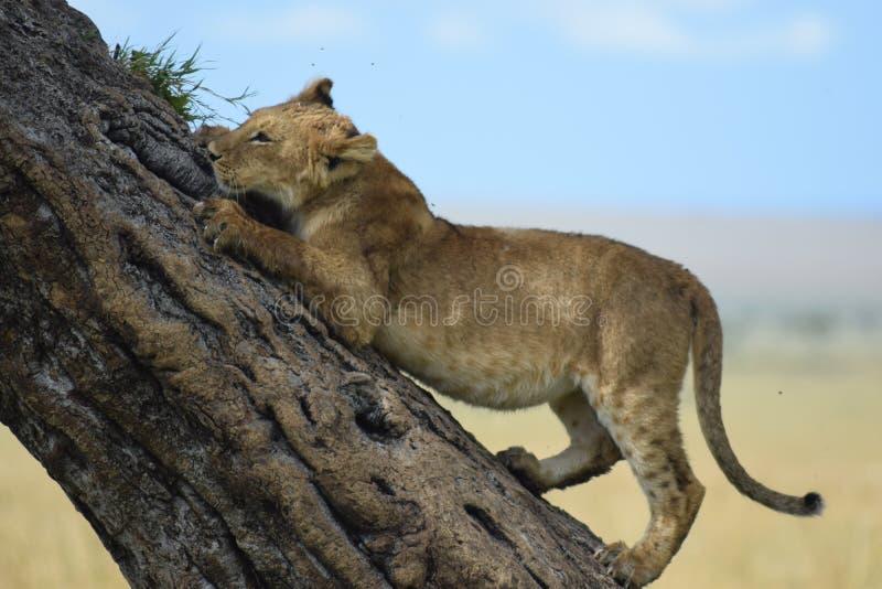 Lejon up ett träd arkivbilder