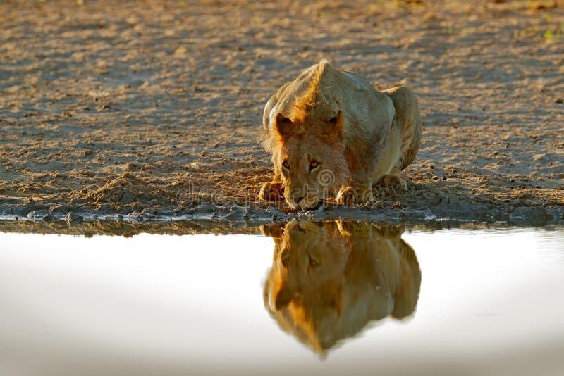 Lejondricksvatten St?ende av par av afrikanska lejon, Panthera leo, detalj av stora djur, Kruger nationalpark Sydafrika arkivfoto