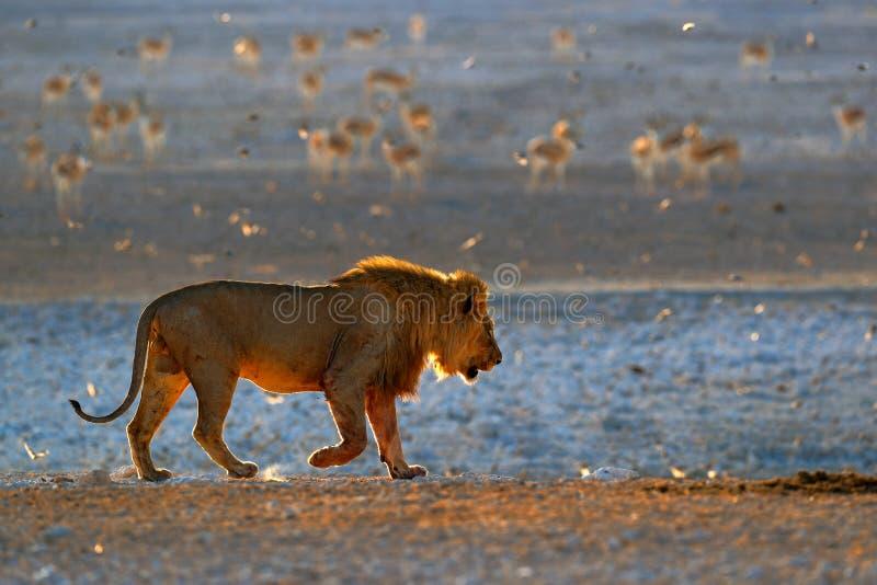 Lejondricksvatten St?ende av par av afrikanska lejon, Panthera leo, detalj av stora djur, Kruger nationalpark Sydafrika royaltyfria bilder