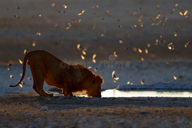 Lejondricksvatten St?ende av par av afrikanska lejon, Panthera leo, detalj av stora djur, Kruger nationalpark Sydafrika royaltyfria foton