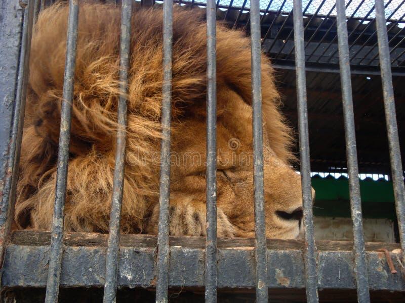 Lejonet är konungen av fän i fångenskap i en zoo bak stänger Makt och agression i buren fotografering för bildbyråer
