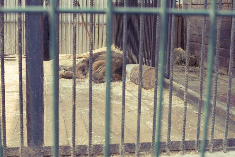 Lejonet bor i en bur på zoo arkivfoton