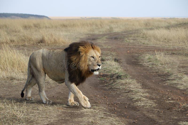 Lejonet går i den lösa maasaien mara arkivfoto