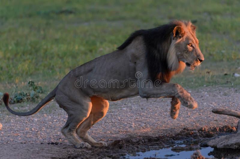 Lejonet hoppar royaltyfria bilder