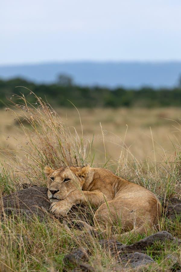 Lejonet, i att luta på, vaggar grässlättar på Masai Mara, Kenya Afrika royaltyfria foton