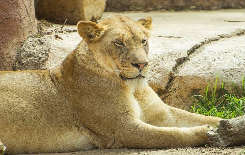 Lejonet i safari parkerar royaltyfri fotografi