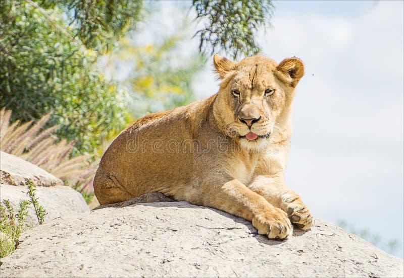 Lejonet i safari parkerar av vaggar överst royaltyfri fotografi