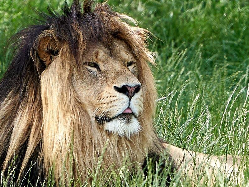 Lejonet ligger i grässlutet upp royaltyfri bild