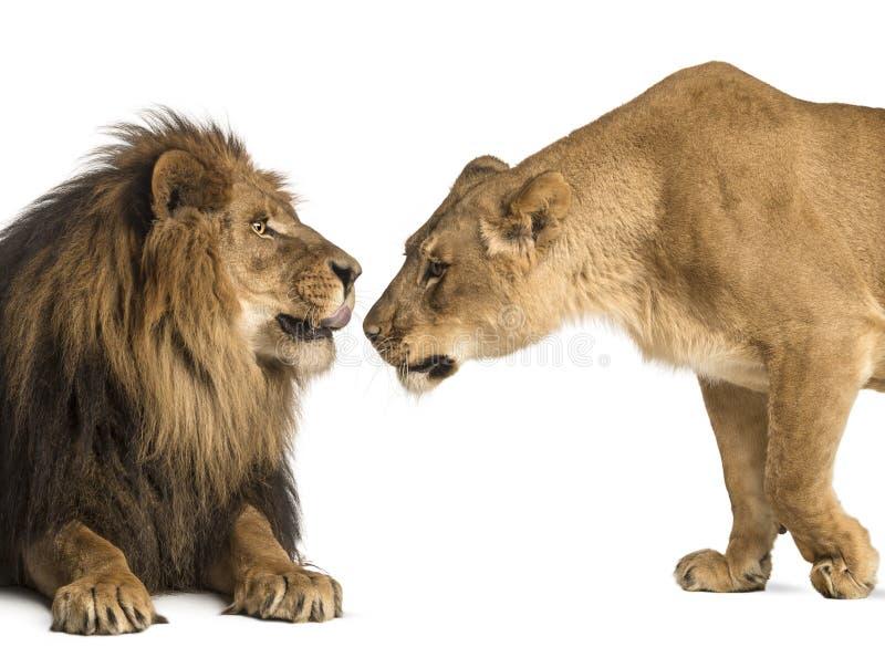 Lejonet och lejoninnan som sniffar sig, pantheraen leo, isolerade på royaltyfri fotografi