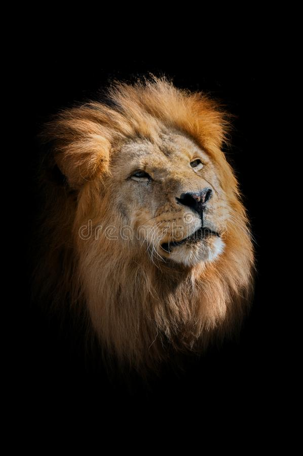 Lejonet, panthera leo Stående av det majestätiska däggdjuret Stort manligt huvud för lejon` s royaltyfria bilder