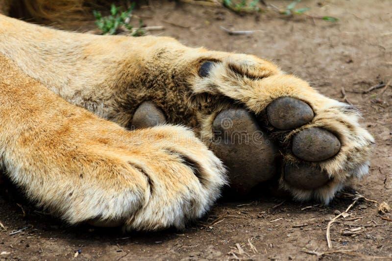Lejonet tafsar royaltyfria bilder