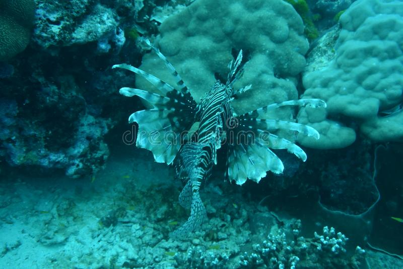 Lejonfisk - dykapparatdykning i Similan arkivfoto