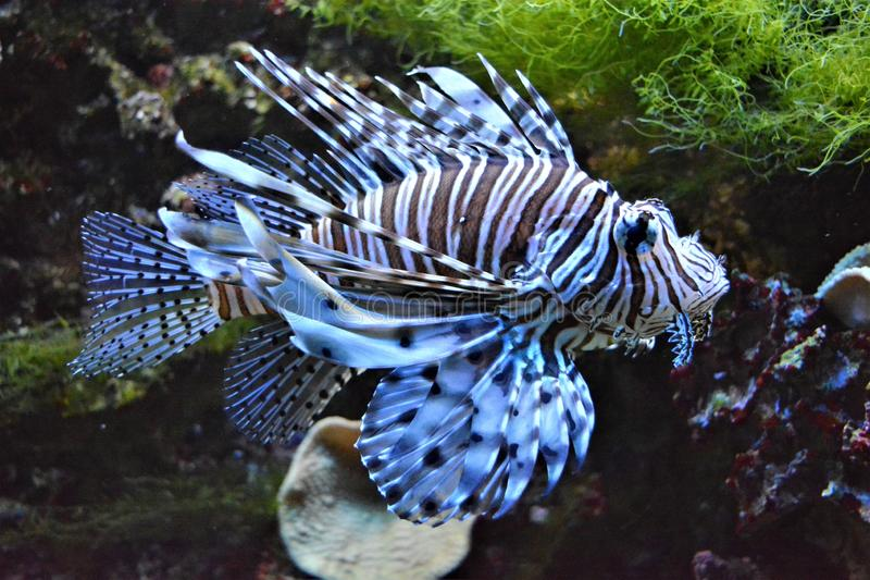 Lejonfisk i akvarium arkivfoto