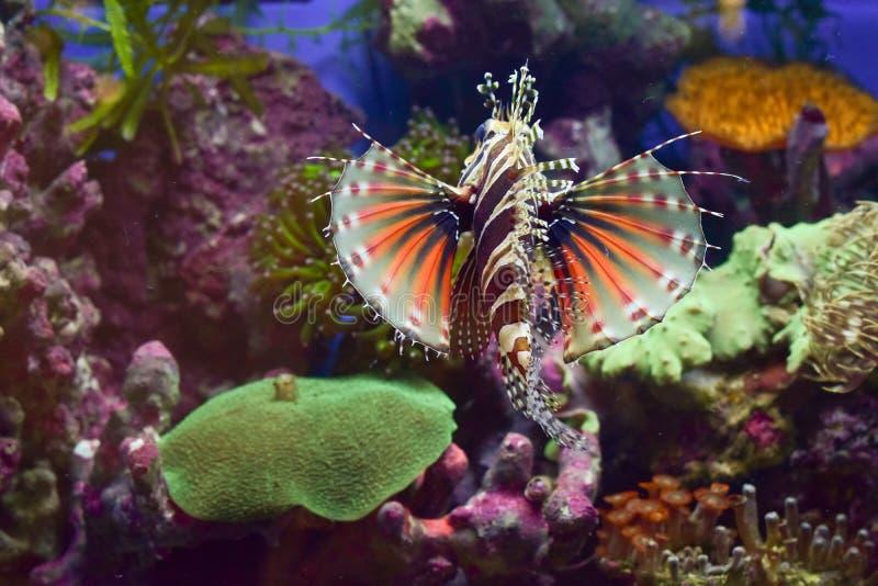 Lejonfisken är revkorall en ondskefull och läcker skönhet arkivfoto