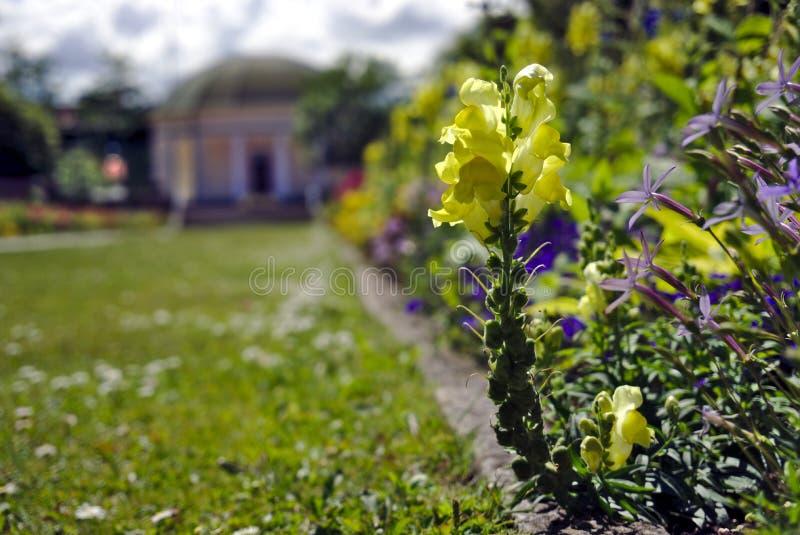Lejongapblomma i malmöträdgård royaltyfria foton