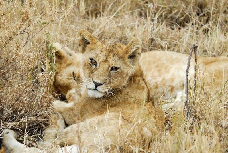 Lejongröngölingar i savannahen, Serengeti nationalpark, Tanzania royaltyfria foton