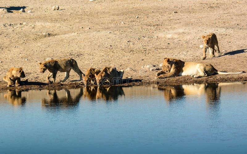Lejongröngölingar på waterholen med liten tant arkivbild