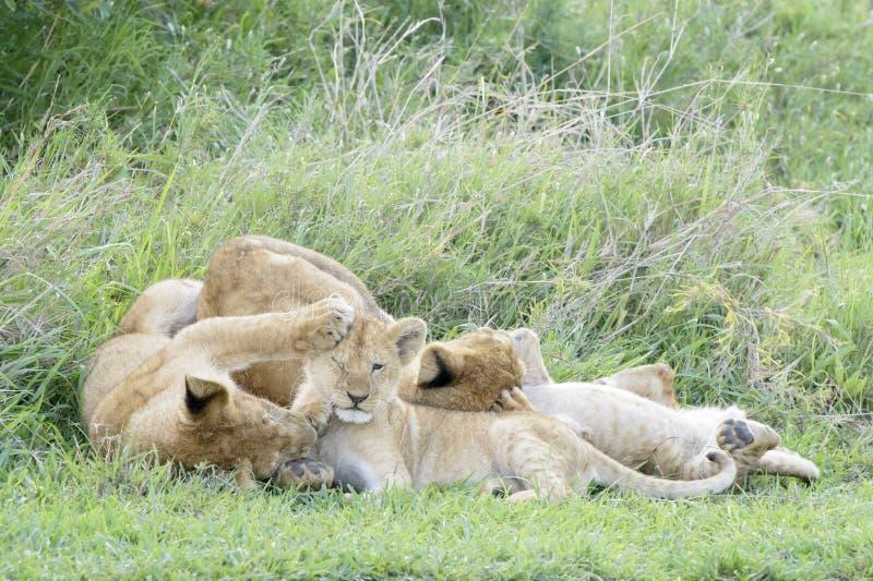 Lejongröngölingar som spelar på savannet, royaltyfri foto