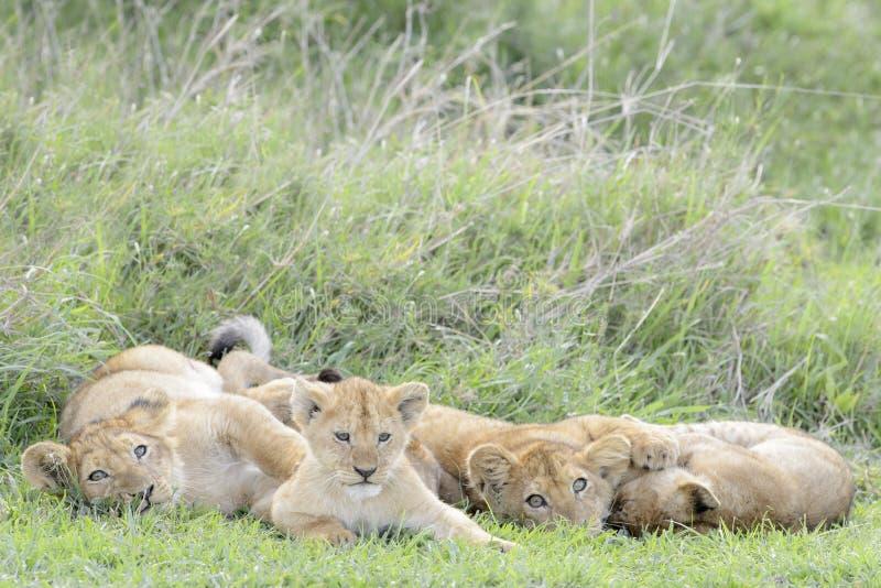 Lejongröngölingar som spelar på savannet, royaltyfri bild