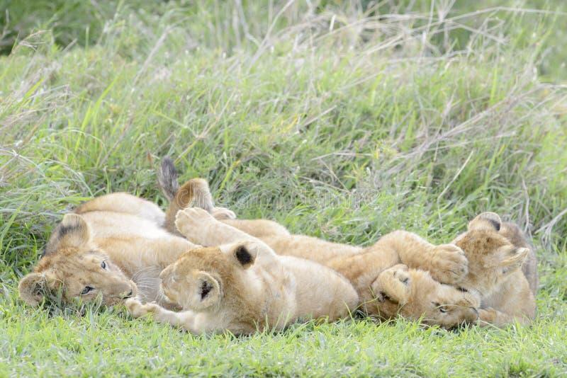 Lejongröngölingar som spelar på savannet, arkivfoto
