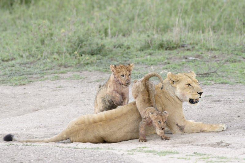 Lejongröngölingar som spelar på savannet, royaltyfria bilder