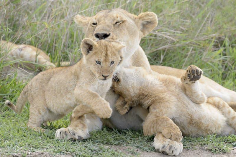 Lejongröngölingar som spelar på savannet, arkivbilder