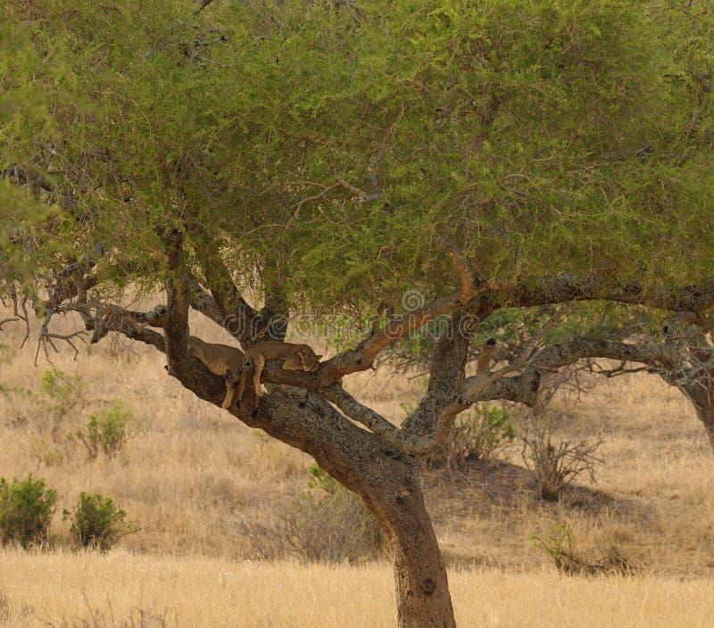 Lejongröngölingar sovande upp i ett träd royaltyfri fotografi