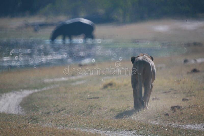Lejoninna Botswana arkivfoton